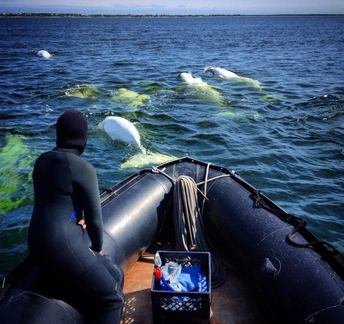 snorkeling-with-belugas-zodiac