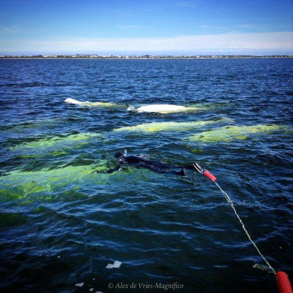snorkeling-with-belugas-tow-line