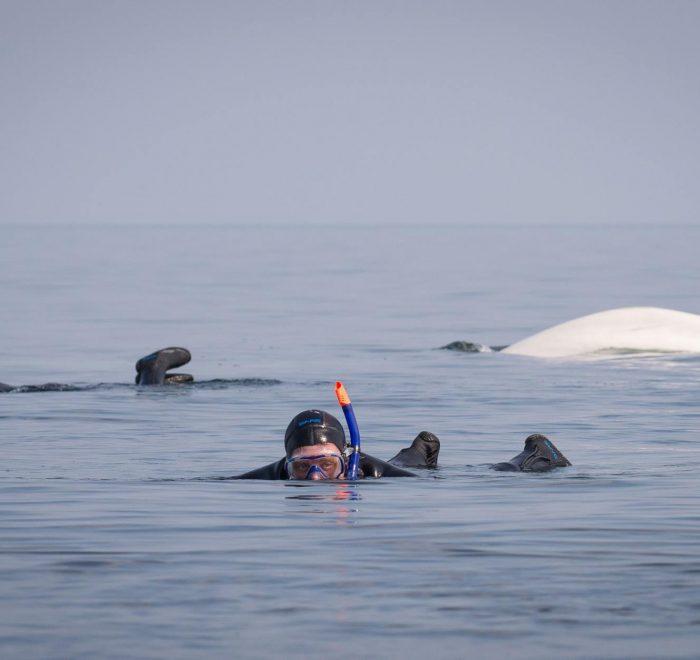 snorkeling-with-belugas