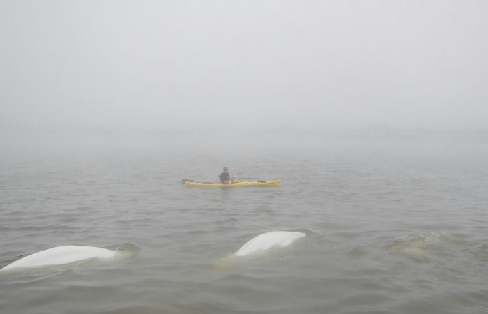 kayaking-foggy-day-with-belugas